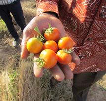 Tomatoes_from_the_regreened_sahel_Burkina_Faso_2018.jpg