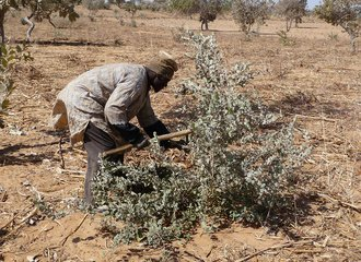 Farmer using traditional pruning techniques in Niger