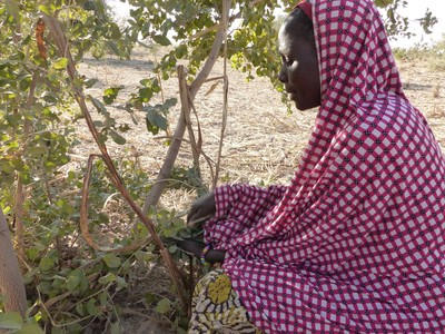 Woman in Dan Kassari community in Niger pruning in FMNR-manner