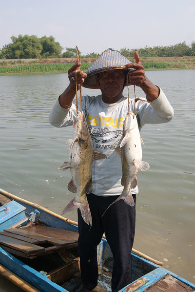 asia redtailed catfish - high economic value fish for local fishermen at brantas river