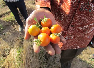Tomatoes from Burkina Faso