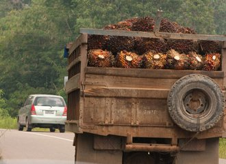 trucks are heavily loaded with oil palm fruits