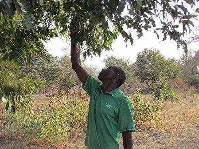 Fruit picking on FMNR demonstration site in Burkina Faso