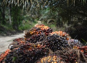 Palm oil_Indonesia_Kalimantan_MRi_2019