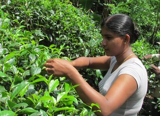 Picking tea from analog forest_1_Sri Lanka