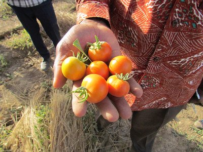 Tomatoes from the regreened sahel (Burkina Faso 2018)