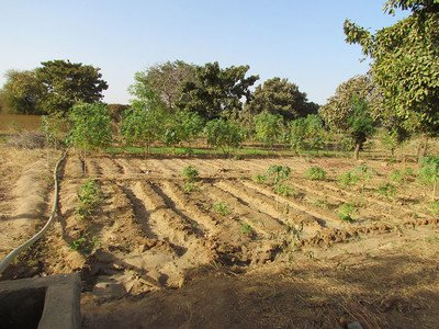 demonstration site of farmer-led natural regeneration in Burkina Faso
