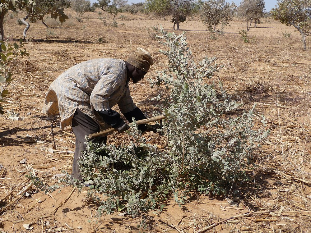 Traditional pruning techniques Niger_