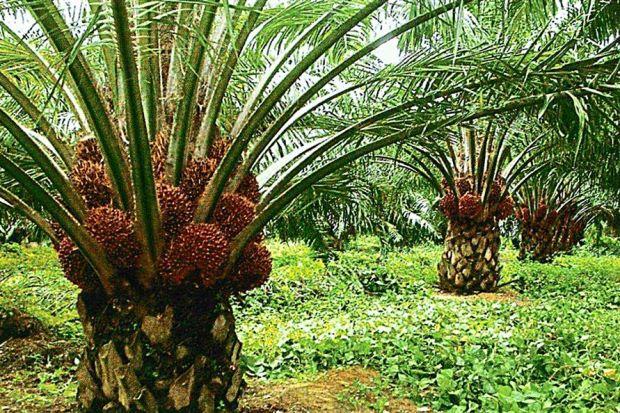 малсаничные-пальмы