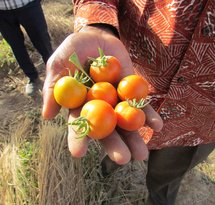 mediaitem/1Tomatoes_from_the_regreened_sahel_Burkina_Faso_2018
