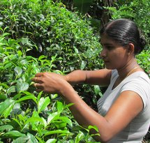 Picking_tea_from_analog_forest_1_Sri_Lanka.jpg
